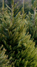 Winnfield Christmas Tree Lot open